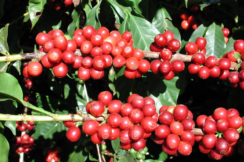 coffee20cherries20at20monte20alegre